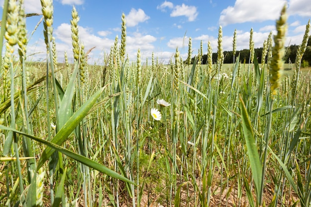 Landwirtschaftliches feld mit grünen unreifen weizenährchen im sommer, gelb-weiße gänseblümchen wachsen unter dem weizen