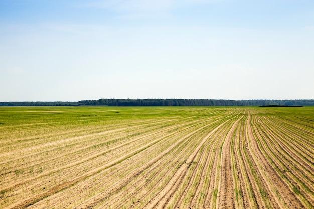 Landwirtschaftliches feld mit zwiebeln landwirtschaftliches feld, auf dem grüne zwiebeln wachsen. sprießende zwiebel, frühling