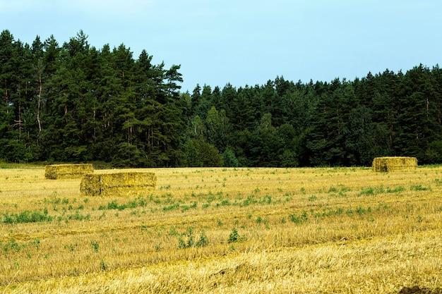 Landwirtschaftliches feld nach der ernte von weizen für lebensmittel wird weizen zu mehl verarbeitet, stroh wird in der tierhaltung verwendet und zu quadratischen stapeln gerollt