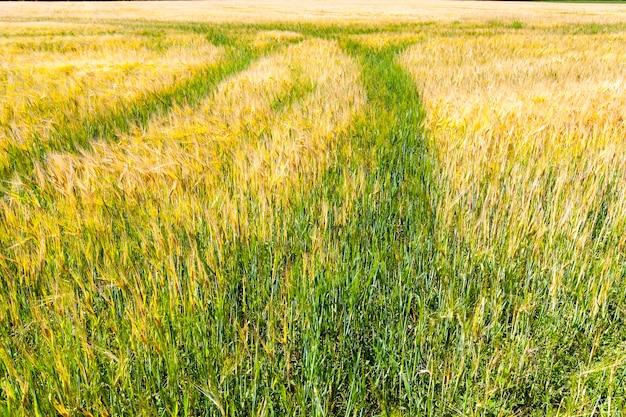 Landwirtschaftliches feld vor der ernte gerste für lebensmittel, aus gerste wird mehl gemacht