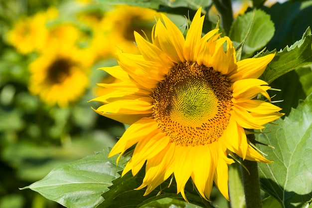 Landwirtschaftliches feld, wo jährliche sonnenblumen, leuchtend gelbe blüten von sonnenblumen