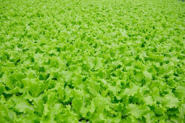 Landwirtschaftliches gemüsefeld mit grünem kopfsalat