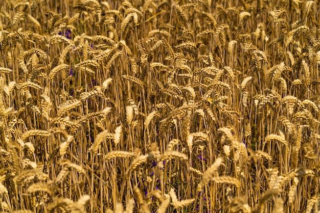 Landwirtschaftliches weizenfeld.