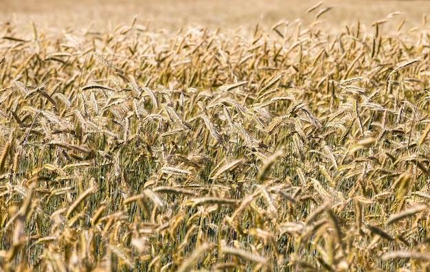 Landwirtschaftliches weizenfeld