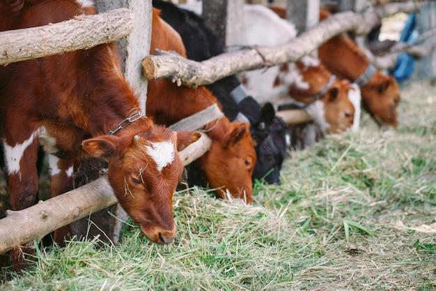 Landwirtschafts-, landwirtschafts- und viehzuchtkonzept, herde von kühen im kuhstall auf molkerei