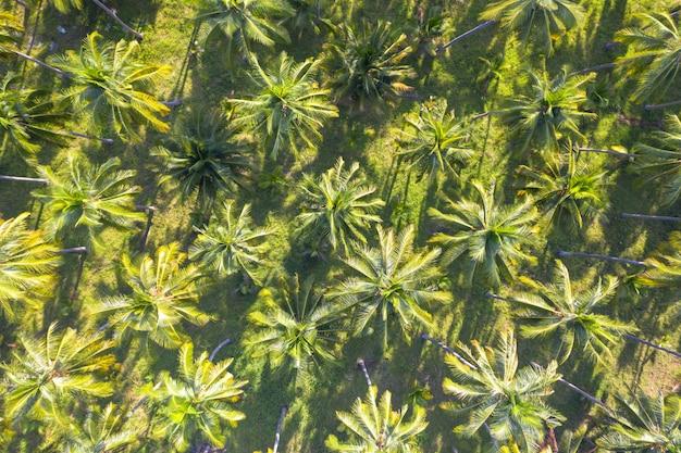 Landwirtschaftsindustrie des grünen feldes der kokosnussplantage, die in thailand bewirtschaftet