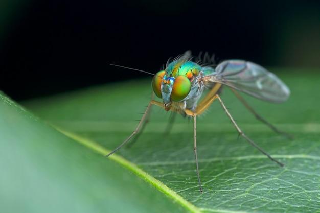Langbeinige fliege auf grünem blatt in der natur