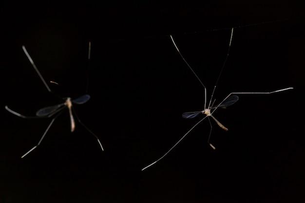 Langbeiniges insekt auf schwarzem hintergrund
