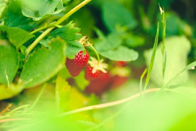 Lange betten des erdbeerfeldes mit frischen roten erdbeeren