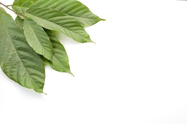 Lange blätter des kakaobaums auf weiß