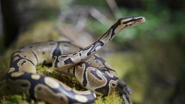 Lange erwachsene boa constrictor im gras mit erhobenem kopf. schlangennahaufnahme. unscharfer hintergrund.