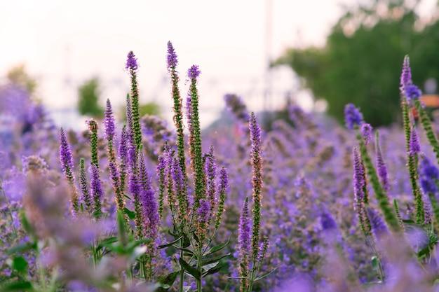 Lange wiesenblumen, die vor dem hintergrund eines sonnenuntergangs wie lavendel aussehen.