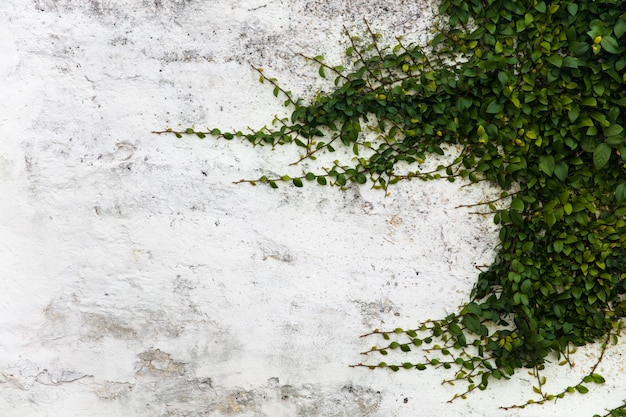 Lange zweige einer pflanze auf einer weißen stuckwand mit exemplarhintergrund