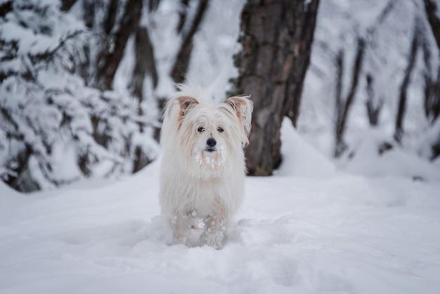 Langer überzogener weißer hund, der auf schneewald geht