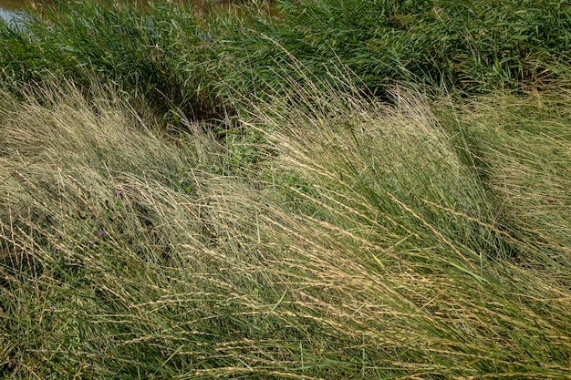 Langes getrocknetes gras im donau-delta, rumänien. textur bild, hintergrund