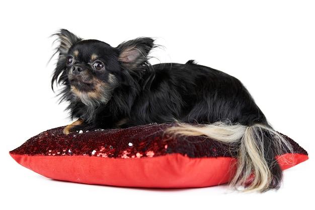 Langhaariger chihuahua-welpe auf rotem kissen, weißer isolierter hintergrund. kleine süße schwarze hunderasse mit einem flauschigen schwanz.