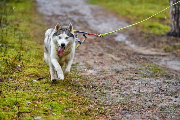 Langlauf-trockenschlittenhund-mushing-rennen