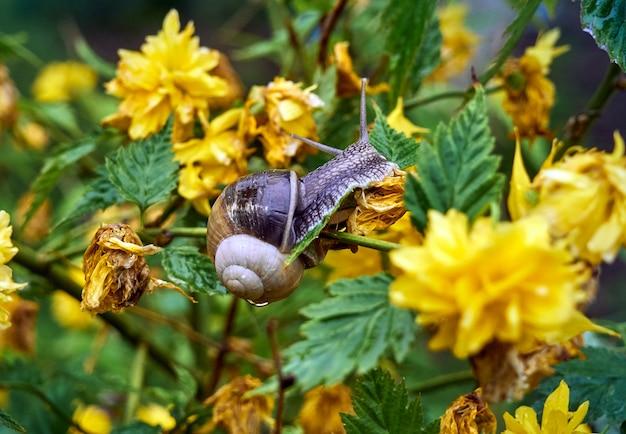 Langsame traubenschnecke, die durch einen grünen busch mit gelben blumen kriecht