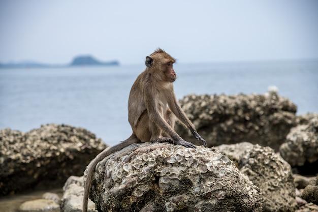 Langschwänziges makakenfutter für lebensmittel auf koram-insel. sie zielen auf die größten steinaustern, knüppeln sie mit steinhämmern und öffnen die fleischigste schnecke mit den abgeflachten kanten ihrer werkzeuge.