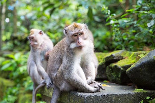 Langschwanzmakaken (macaca fascicularis) im heiligen affenwald, ubud, indonesien