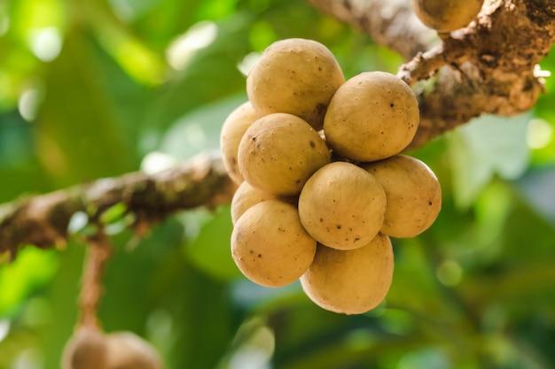 Lansium domesticum, tropische frucht, hat einen süßen geschmack, kugelförmig, dick, rau, gelb longkong genannt