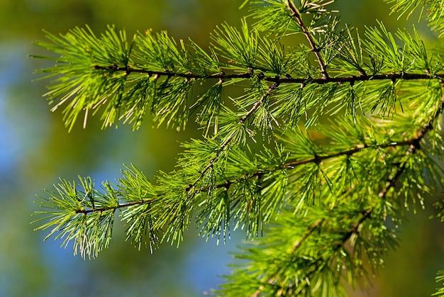 Larix decidua grüne zweige (europäische lärche)