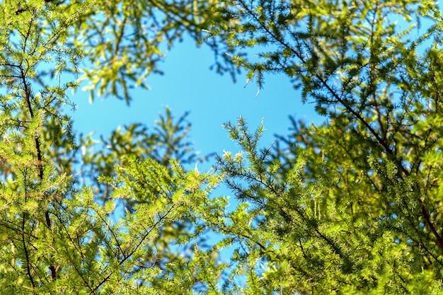 Larix decidua grüne zweige im blauen himmel (europäische lärche)