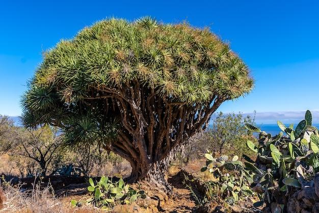 Las tricias trail und seine schönen drachenbäume in der stadt garafia im norden der insel la palma, kanarische inseln