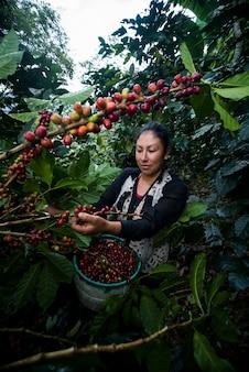 Lateinamerikanische frauen, die auf ihren farmen aus verschiedenen blickwinkeln kaffee ernten