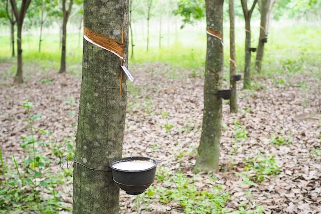 Latex extrahiert vom gummibaum in thailand