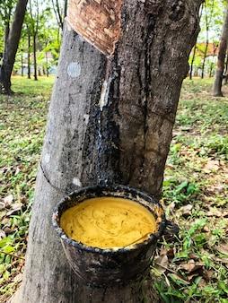 Latex von einem gummibaum. mukdahan, thailand