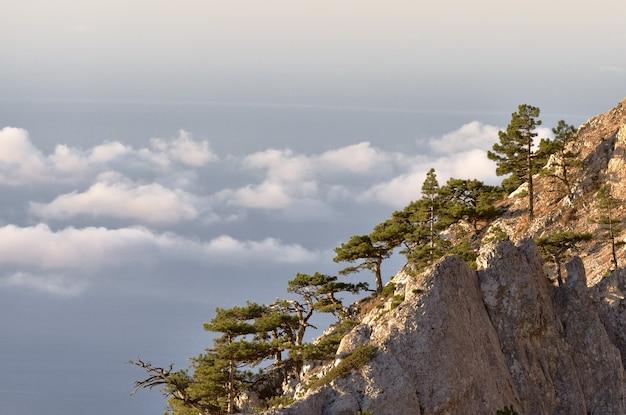 Latschen wachsen auf steilen klippen hoch über schwebenden weißen wolken im rosa morgenlicht