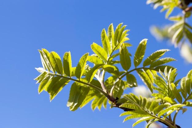 Laub auf einem ebereschenbaum