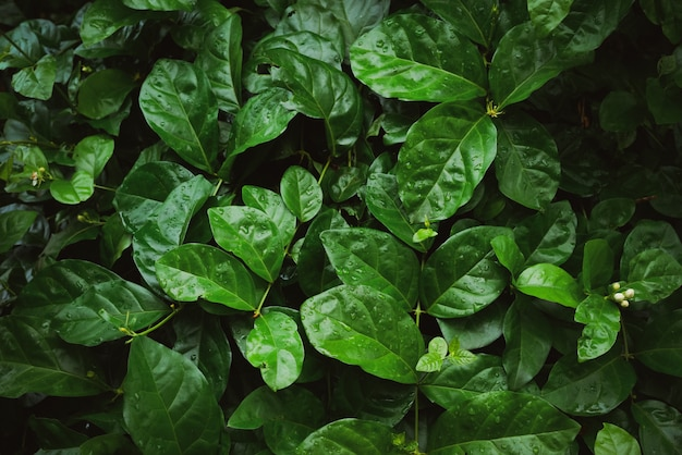 Laub des tropischen blattes in dunkelgrünem mit regenwassertropfen auf beschaffenheit