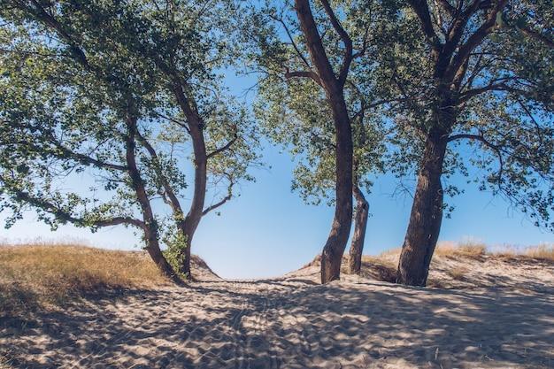 Laubbäume am strand, sanddünenküste. pfad im sand durch die bäume, halbinsel land. ostsee, gebiet kaliningrad, russland, weichsel nehrung.