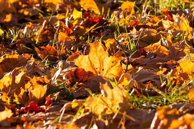Laubbäume im wald oder im park im herbstblattfall, eiche mit wechselndem blatt, schöne natur mit eiche im park
