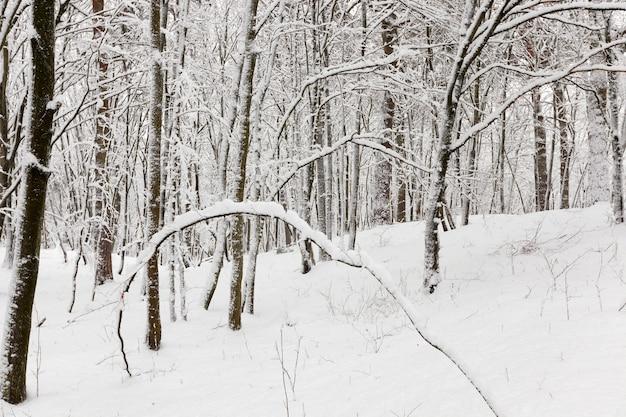 Laubbäume ohne blätter im schnee nach schneestürmen und schneefällen, naturphänomene in der wintersaison mit pflanzen und bäumen ohne blätter