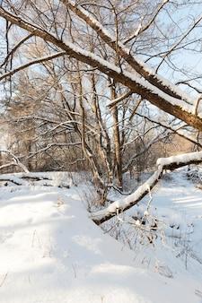 Laubbäume ohne laub in der wintersaison, kahler bäume nach schneefällen und schneestürmen mit schnee bedeckt, ein echtes naturphänomen