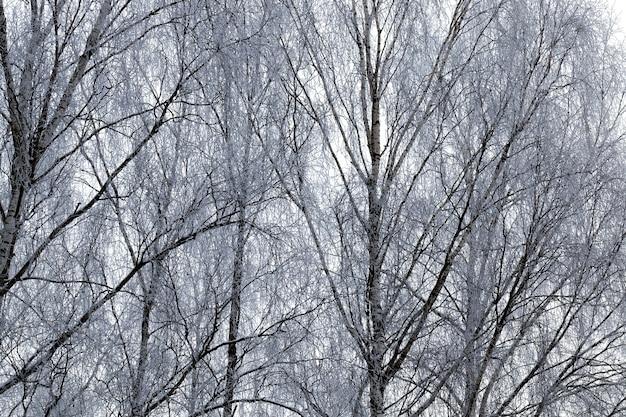 Laubbaumspitzen, fotografiert in der wintersaison während des frosts, bedeckt