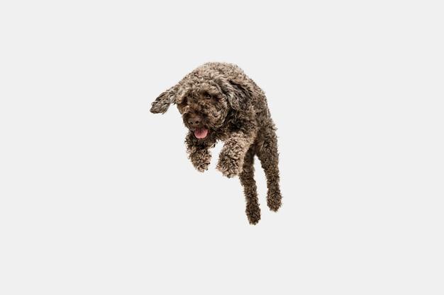 Laufen. netter süßer welpe des niedlichen hundes oder des haustieres lagotto romagnolo, das auf weiß aufwirft