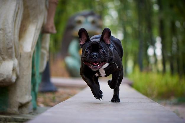 Laufende französische bulldogge auf einem spaziergang im park.