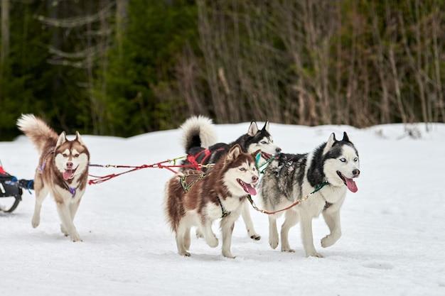 Laufender husky-hund auf schlitten im winter