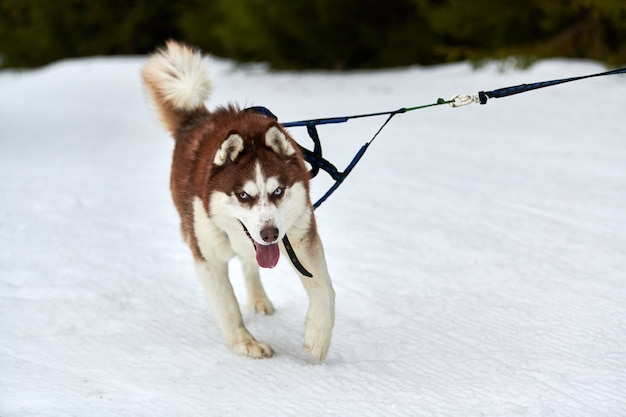 Laufender husky-hund auf schlittenhunderennen. winter hundesport schlitten team wettbewerb