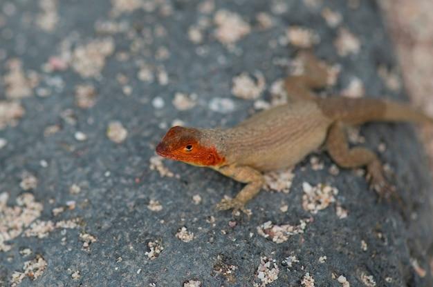 Lava eidechse, north seymour island, galapagos-inseln, ecuador