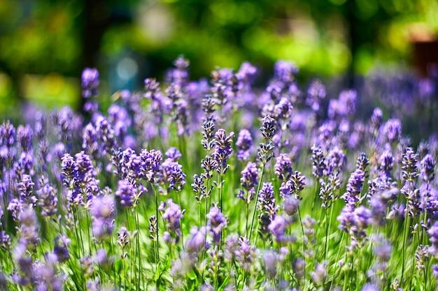 Lavendel-blumen-feld. wachsender und blühender lavendel