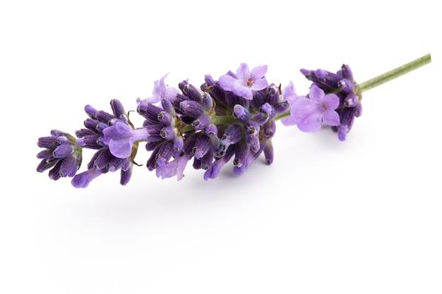 Lavendel blumenstrauß gebunden lokalisiert auf weißem hintergrund
