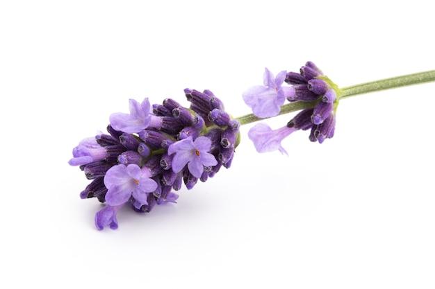 Lavendel blumenstrauß gebunden lokalisiert auf weißem hintergrund.