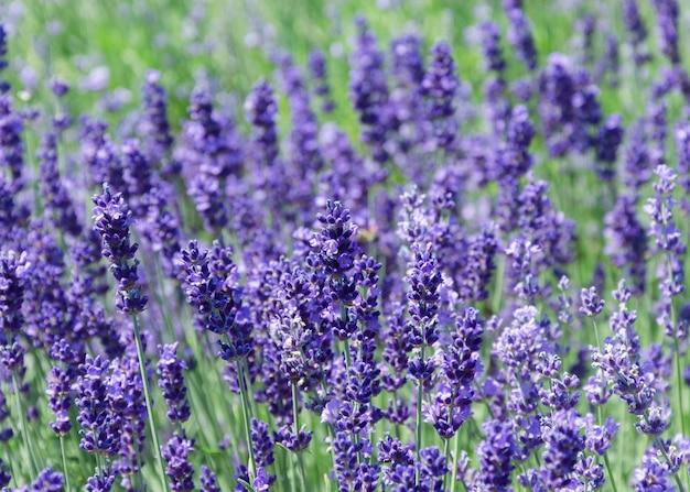 Lavendel büsche nahaufnahme