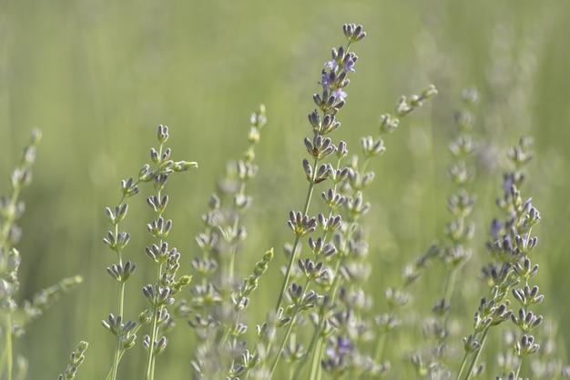 Lavendel busch nahaufnahme