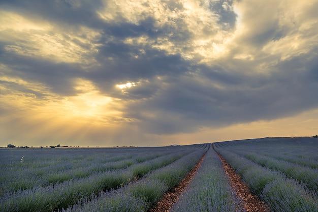 Lavendel, der spanien wächst